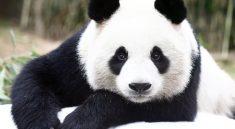 Dünyanın En İyi Panda Bakıcısı