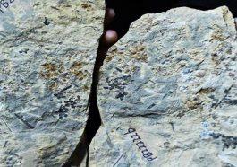 Dünyanın En Eski Çiçek Fosili
