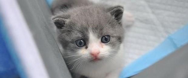 Çin'de kedi klonlandı!