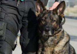 Klon köpek Çin'de polislik yapıyor!