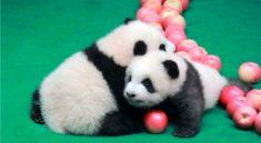 Panda yavruları Çin halkıyla tanıştı!