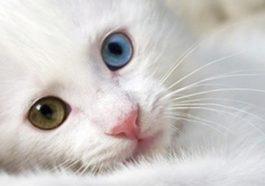 Van kedisi için Çin'den Türkiye'ye geldi